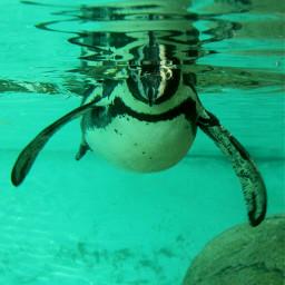 animals animallove sweety penguin swimming