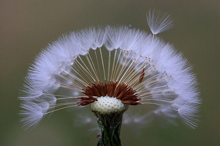 freetoedit dandelion flower seeds flyaway