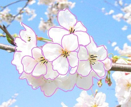 japan sakura spring interesting nature freetoedit
