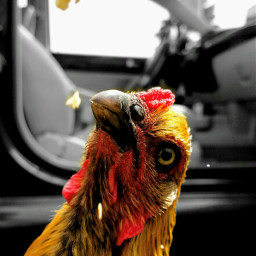 chicken frenchcoppermaran colorsplash madewithpicsart